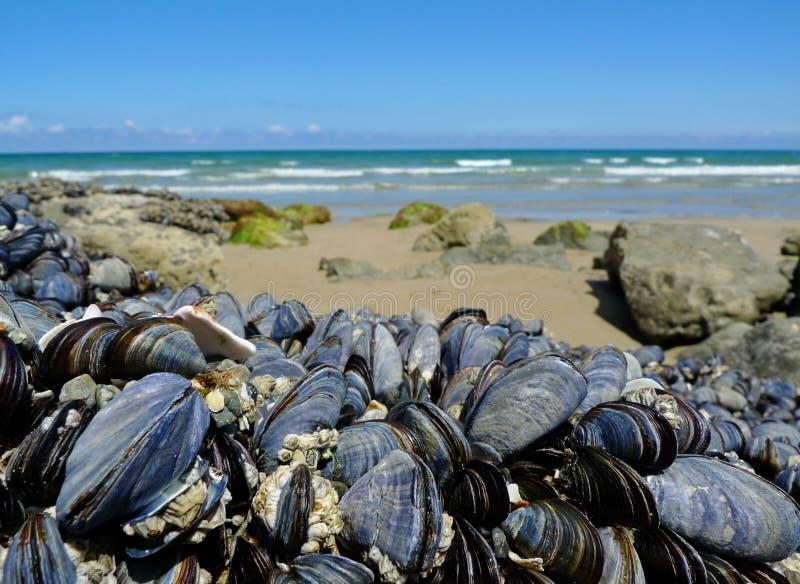 Eatable Miesmuscheln auf einer Küste lizenzfreie stockbilder