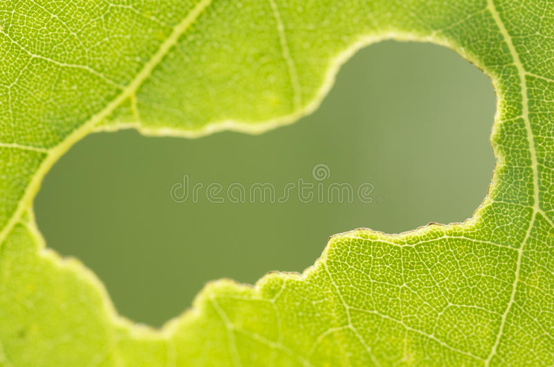 Eaten hole in a green leaf royalty free stock photo