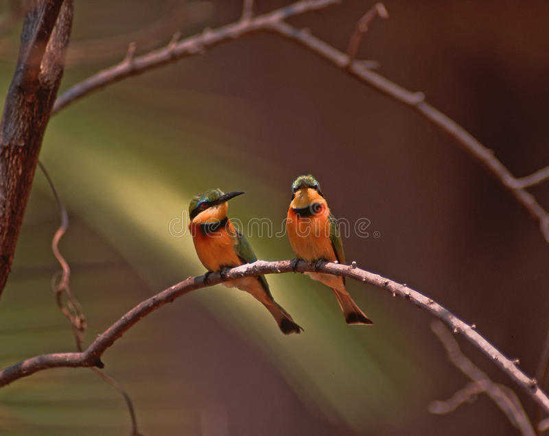 eaters för africa bifågel little royaltyfri bild