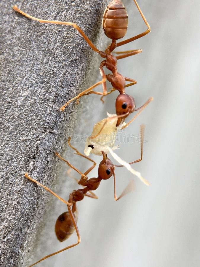 The eating ant royalty free stock images