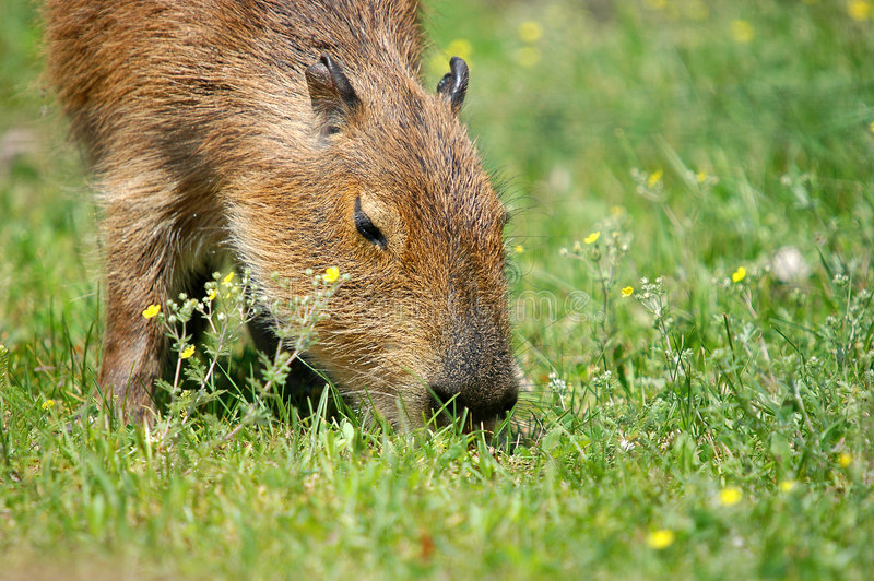 Download Eating Capibara Stock Photography - Image: 1709522