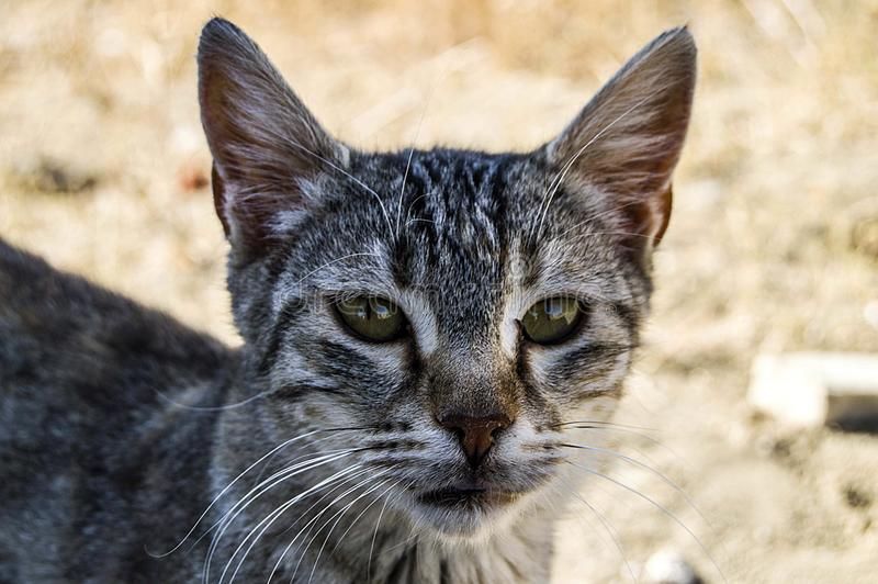 Big eyes cat pictures, great stray cats, cat eyes the most beautiful.listened cats, the most beautiful cat eyes, pet cat pictures, royalty free stock photos