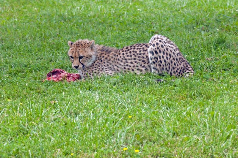 Download Eating cheetah stock image. Image of predatory, outside - 27812295
