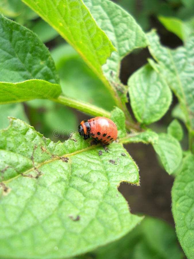 Download Eating Colorado beetle stock photo. Image of colorado - 20063450