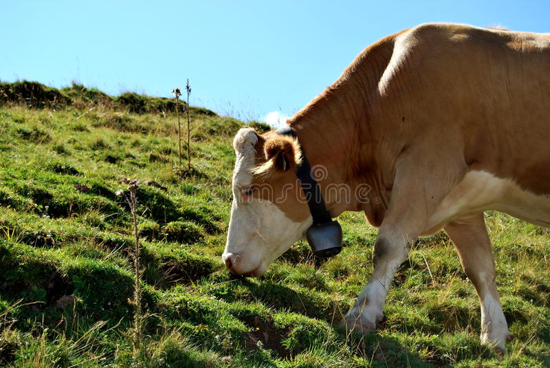 Eating cow royalty free stock photography