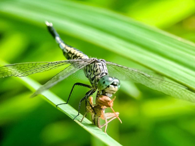 Eating dragonfly in morning breakfast royalty free stock photo