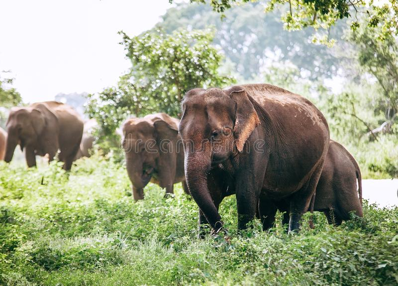 Eating elefants family near the pond in national nature park Uda royalty free stock photo