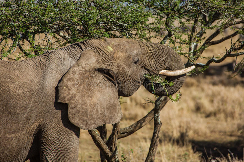 Download Eating elephant stock photo. Image of mammals, spines - 35579062