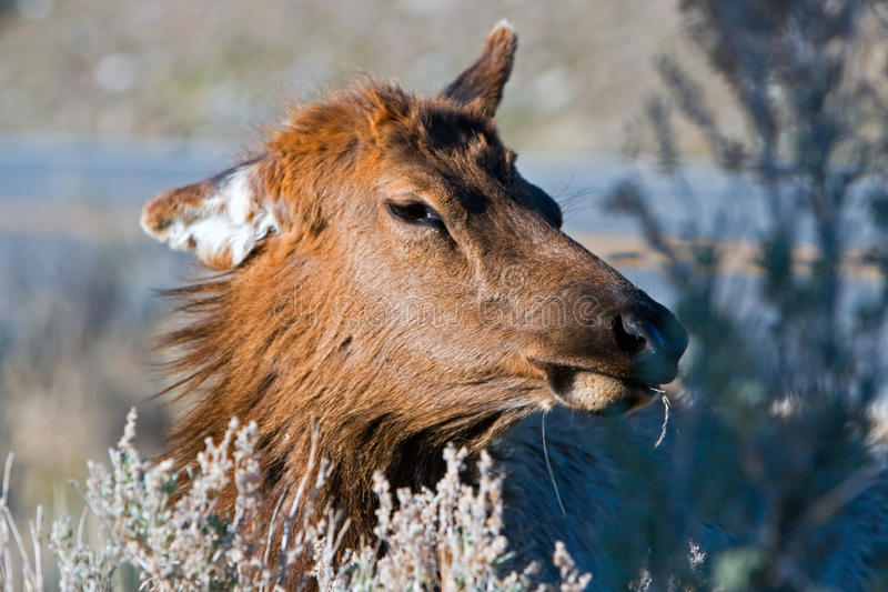 An eating elk. stock image