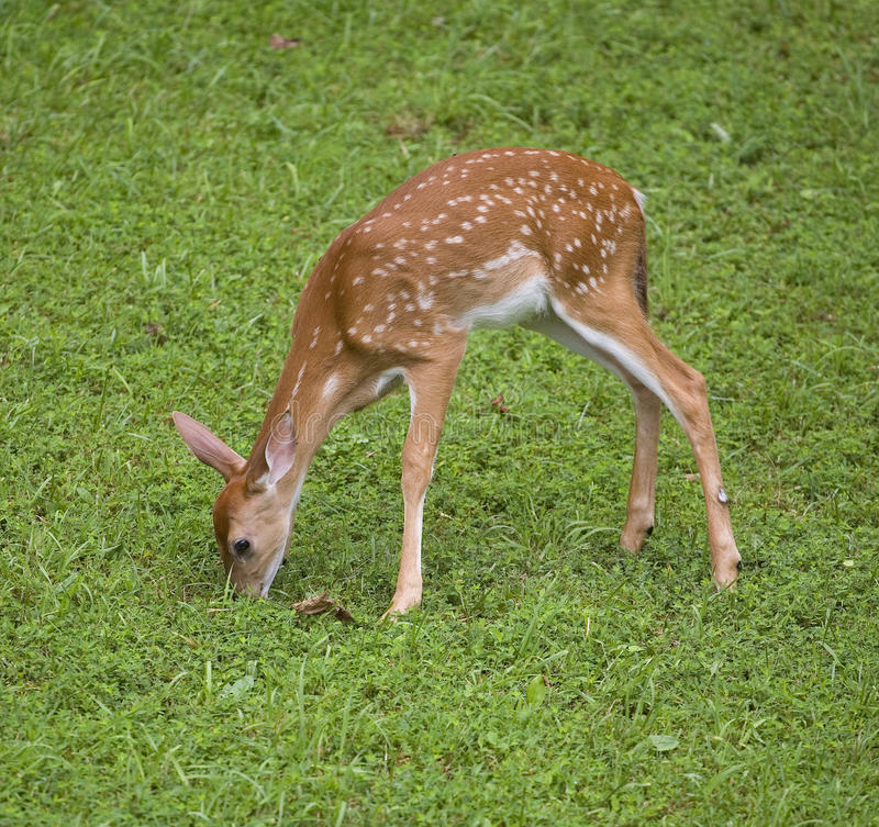 Download Eating fawn stock image. Image of grass, green, deer - 27022325