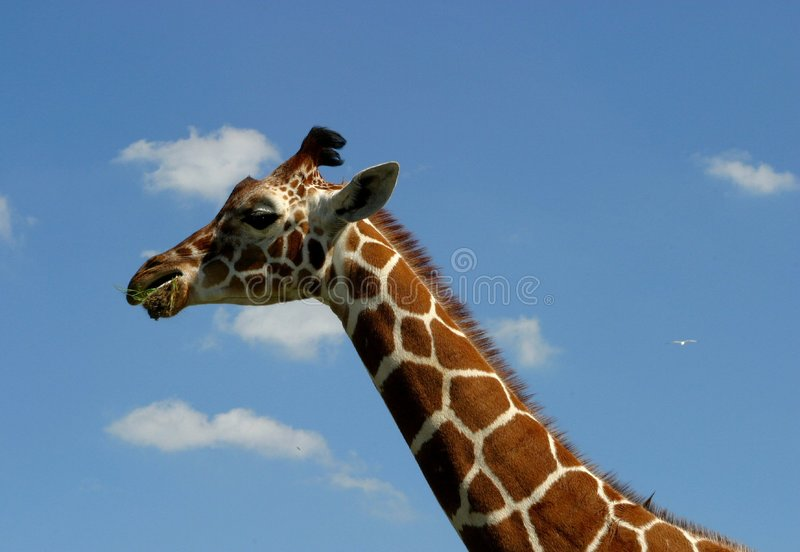Download Eating giraffe stock photo. Image of site, africa, print - 9728