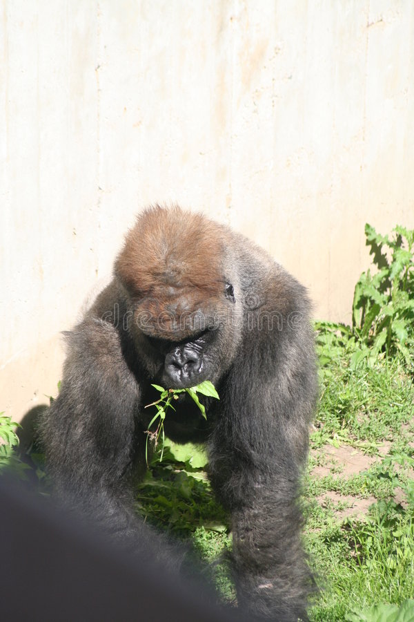 Eating gorilla royalty free stock photo