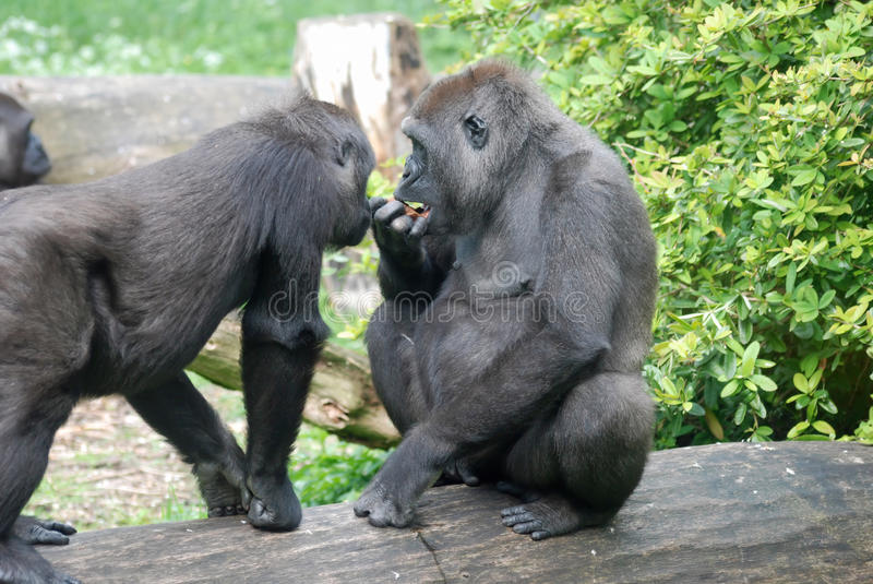 Eating gorillas. Two gorillas sitting on a tree trunk and eating stock images