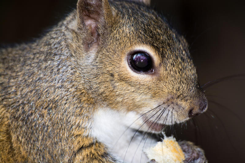 Eating Grey Squirrel, Wekiva Park, Florida, USA. Sciurus carolinensis is native to the eastern and midwestern United States, and to the southerly portions of the stock image
