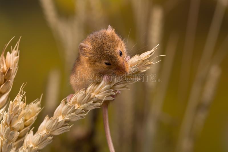 Eating Harvest Mouse royalty free stock images