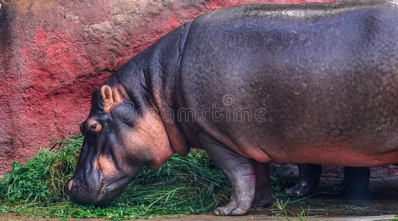 Eating hippo. Here& x27;s a hippopotamus eating his meal of the day stock photography