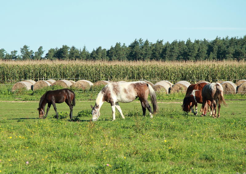 Eating horses royalty free stock photos