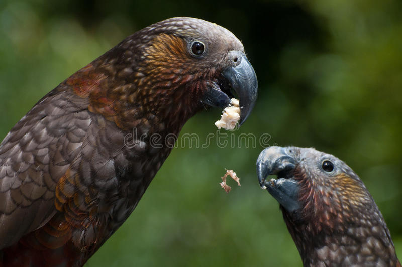 Eating kaka's royalty free stock photography