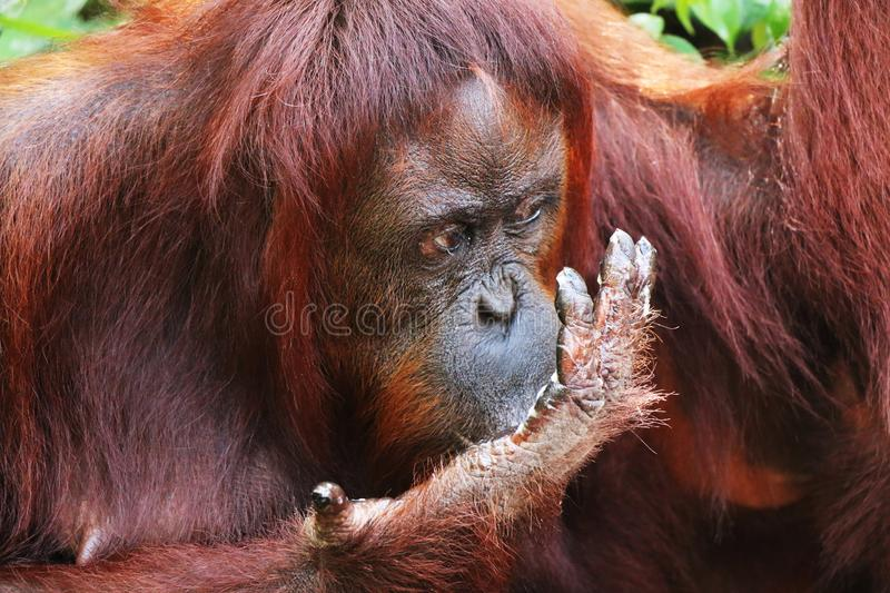 Eating orangutan in Borneo forest closeup of head. royalty free stock photo