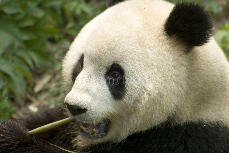 Eating panda. Close-up eating big panda photo royalty free stock images