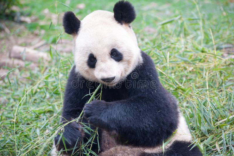 Eating Panda Bear, Chengdu, China. Giant Panda Bear Eating bamboo in Chengdu, China stock image