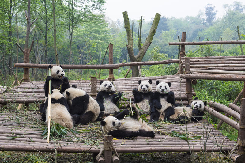 Download Eating Pandas stock image. Image of cute, mammals, wildlife - 27666083