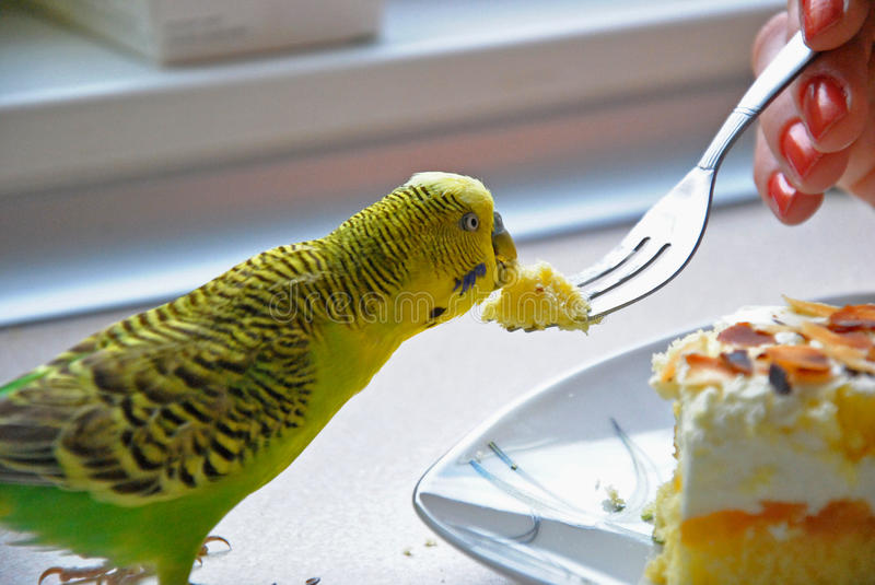 Eating parrot. Photo of a parrot eating a cake