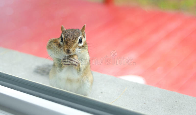 While eating peanuts, A curious Eastern chipmunk peers through my window from the sill outside. stock photos