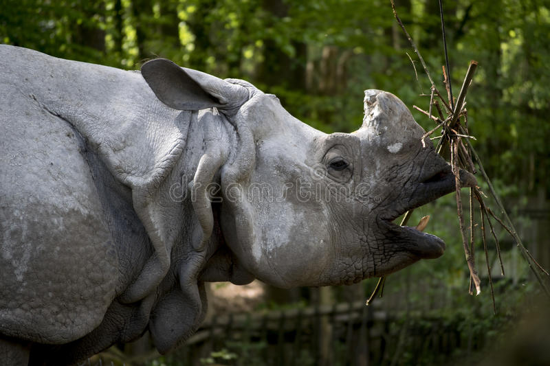 Eating Rhino in zoo stock images