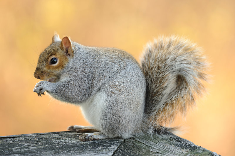 Download Eating squirrel stock photo. Image of green, october, fluffy - 7162748