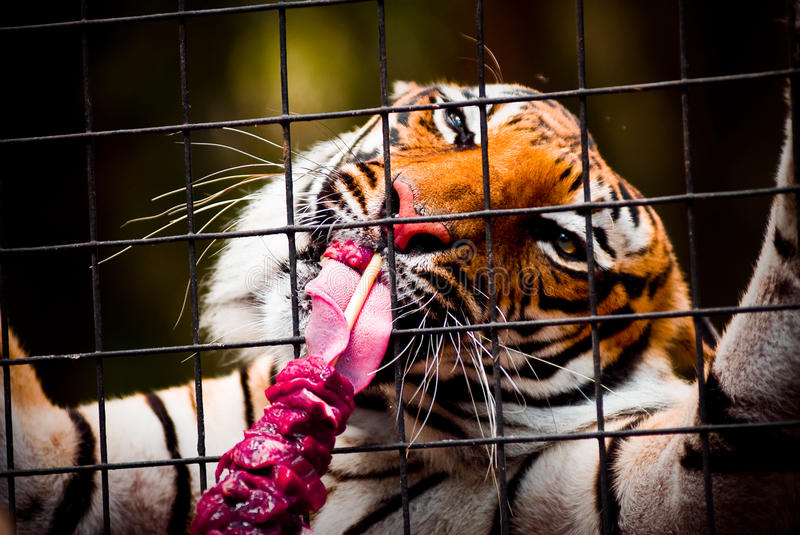 Eating tiger royalty free stock photography