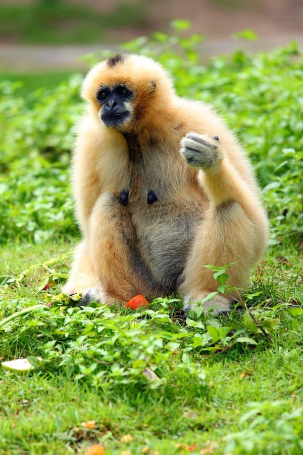 eatting обезьяна стоковое изображение