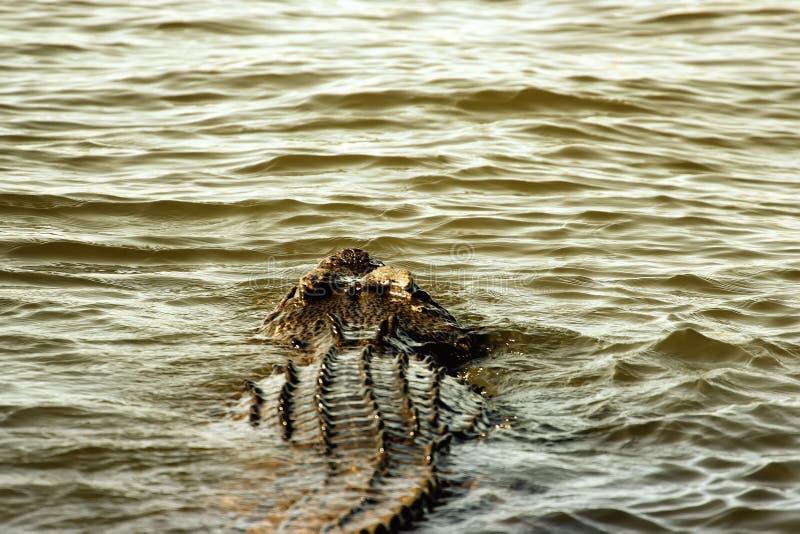 eau de mer de crocodile image stock