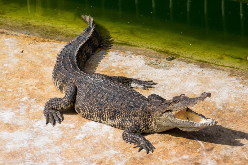 Download Eau de mer de crocodile photo stock. Image du dent, saltwater - 87707312