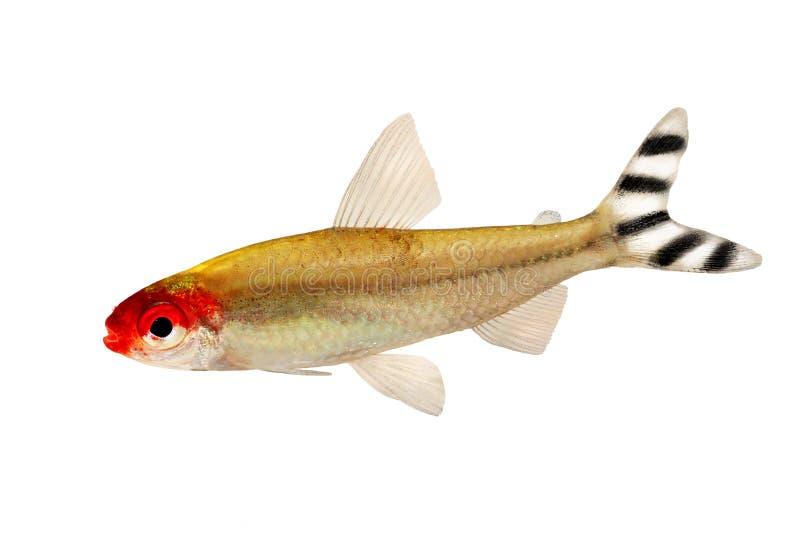 Eau douce de bleheri de rhodostomus de Hemigrammus de Rami-nez de poissons d'aquarium tétra photo stock