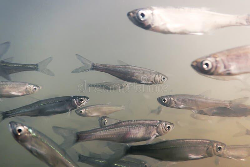 Eau douce de poissons d'amorce sous-marine Fin morne commune  images stock