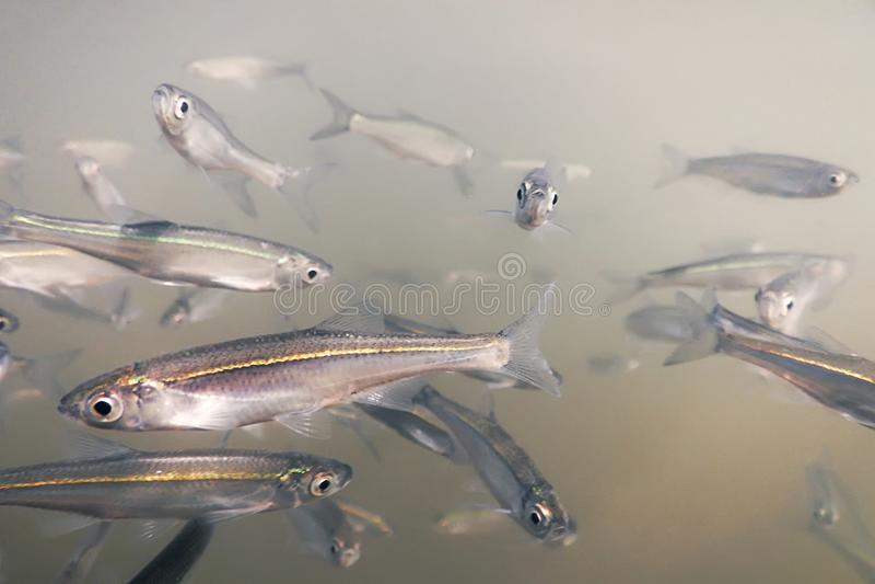 Eau douce de poissons d'amorce sous-marine Fin morne commune  photographie stock