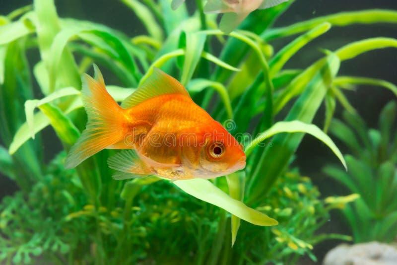 Eau du fond de natation de flottement de poissons ou de poisson rouge d'or dans le r?servoir frais d'aquarium avec la plante vert photos stock
