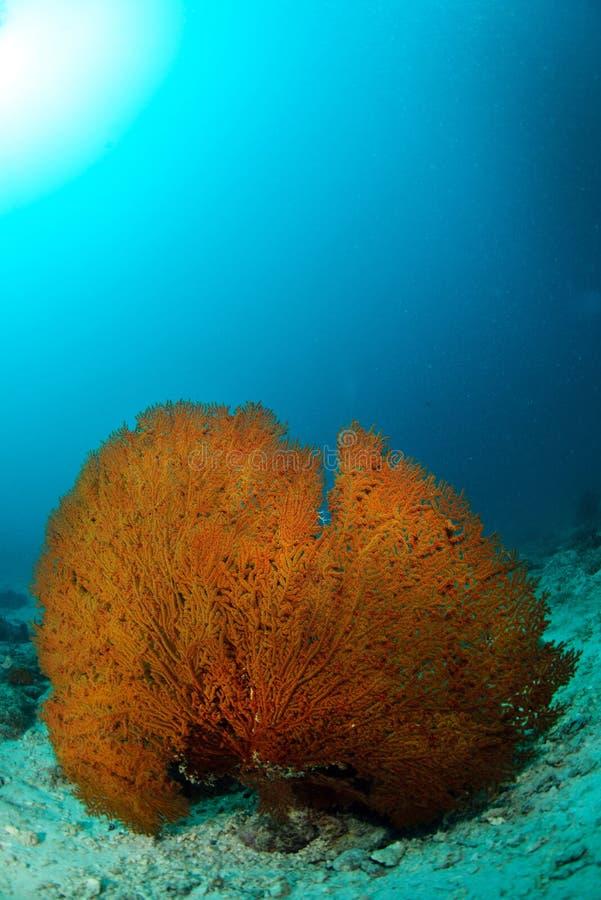 Eau du fond seafan géante dans Sipadan, photos libres de droits