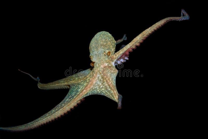 Eau du fond vulgaris de poulpe photo stock