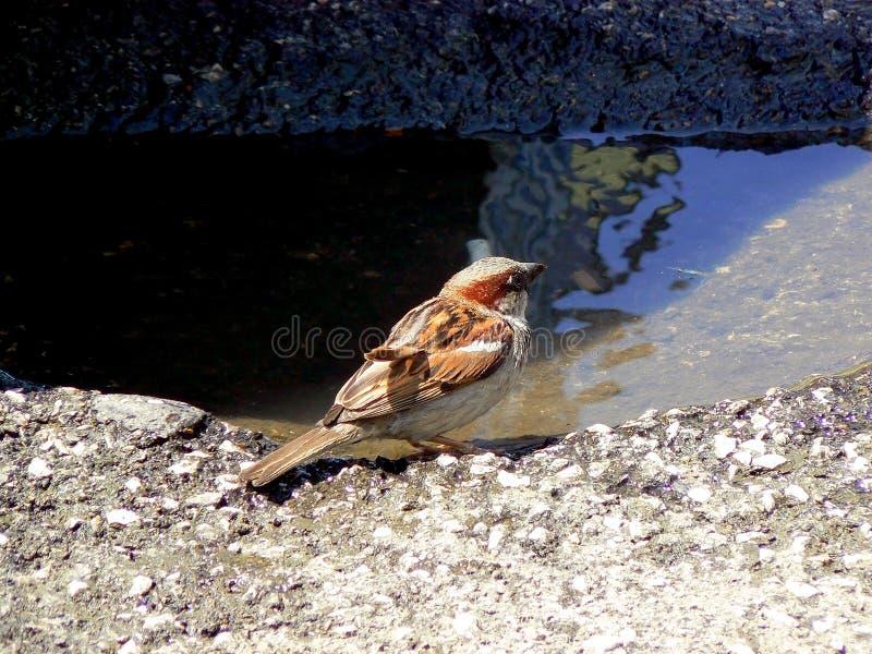 Eau potable d'oiseau image stock