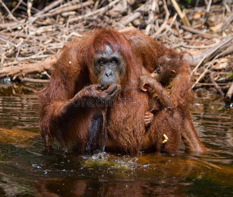 Eau potable d'orang-outan de femelle et de bébé de la rivière dans la jungle l'indonésie L'île de Kalimantan Bornéo photos libres de droits