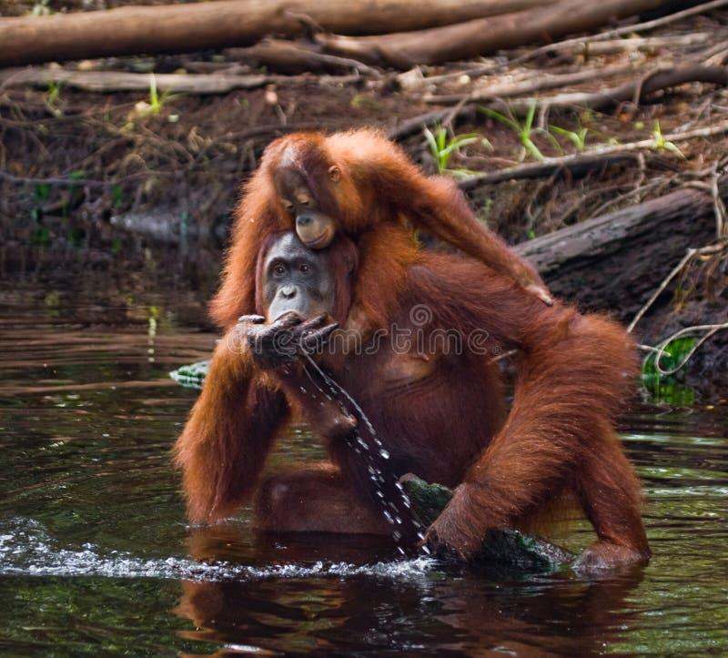 Eau potable d'orang-outan de femelle et de bébé de la rivière dans la jungle l'indonésie L'île de Kalimantan et de x28 ; Borneo&  photo stock