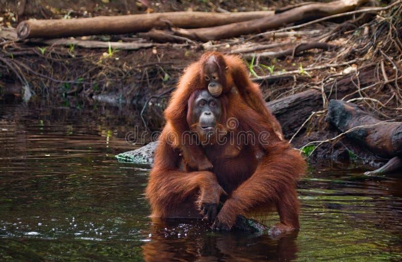 Eau potable d'orang-outan de femelle et de bébé de la rivière dans la jungle l'indonésie L'île de Kalimantan et de x28 ; Borneo&  photos libres de droits