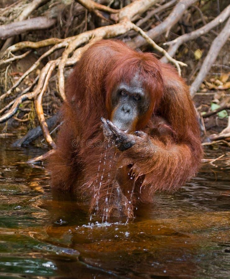 Eau potable d'orang-outan de la rivière dans la jungle l'indonésie L'île de Kalimantan Bornéo image stock