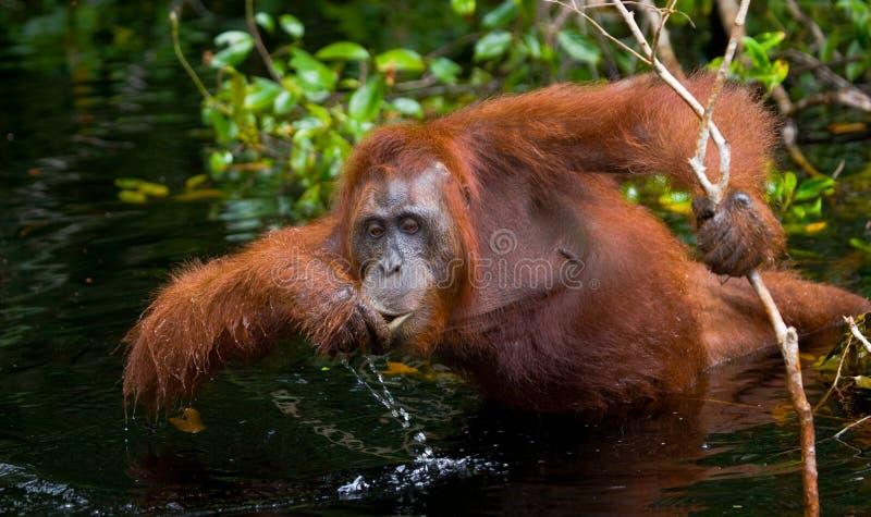 Eau potable d'orang-outan de la rivière dans la jungle l'indonésie L'île de Kalimantan Bornéo photos libres de droits