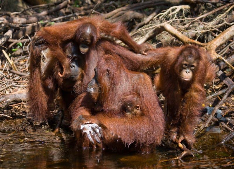 Eau potable d'orang-outan de la rivière dans la jungle l'indonésie L'île de Kalimantan Bornéo photo stock