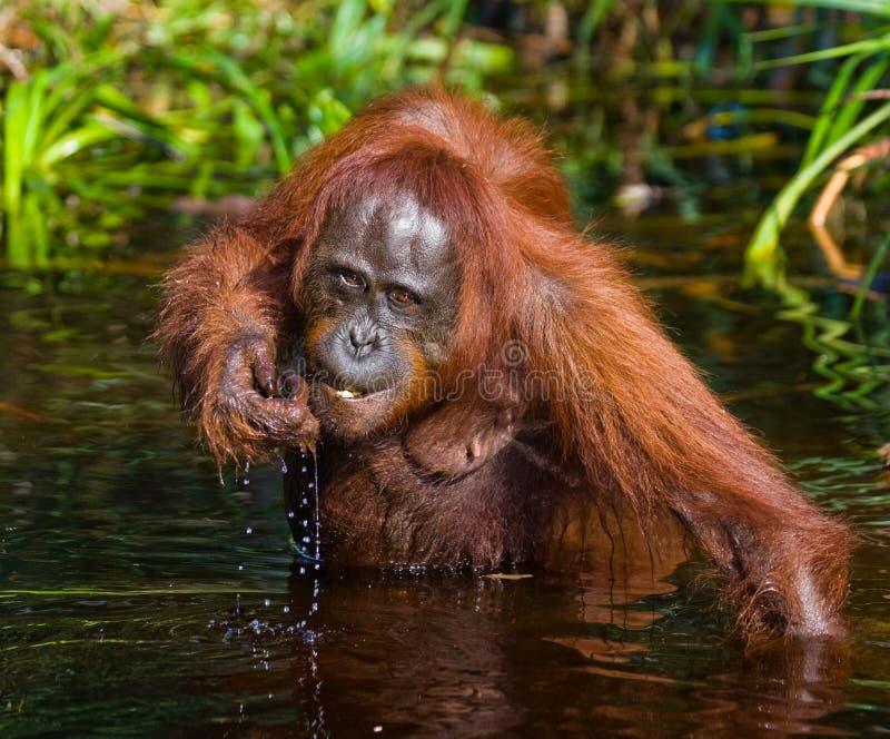 Eau potable d'orang-outan de la rivière dans la jungle l'indonésie L'île de Kalimantan et de x28 ; Borneo& x29 ; photos stock