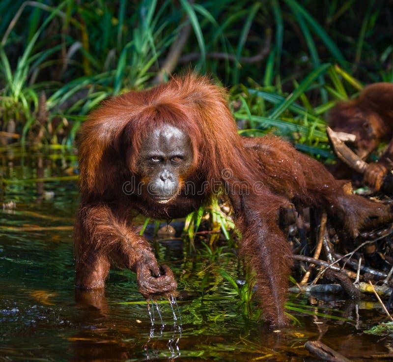 Eau potable d'orang-outan de la rivière dans la jungle l'indonésie L'île de Kalimantan et de x28 ; Borneo& x29 ; photo libre de droits