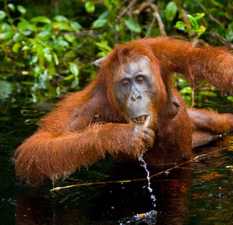 Eau potable d'orang-outan de la rivière dans la jungle l'indonésie L'île de Kalimantan et de x28 ; Borneo& x29 ; images stock